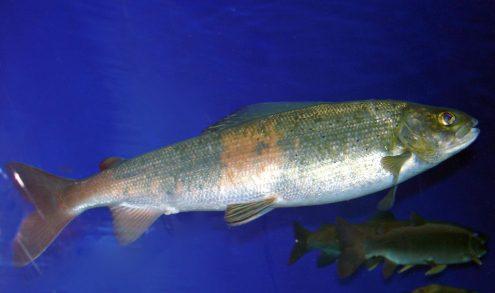 Radioactive Fish Contain Strontium 90