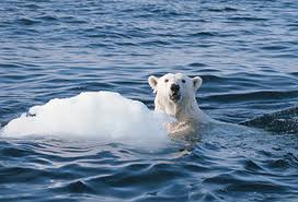 Polar bears due for extinction in 25 years