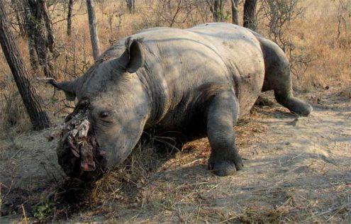 Eleven Rhino Poached In Kzn