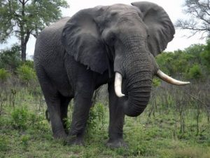 Big-elephant-bull