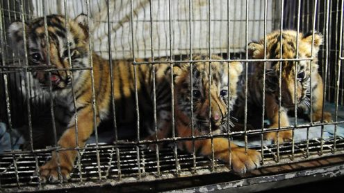 tiger extinction research paper Tiger extinction essay: research paper on training and development pdf gender pay gap uk essay apa swine flu research paper youtube essay censorship media.