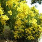 Acacia-decurrens-flowering