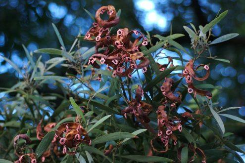 Acacia Melanoxylon Foliage Seeds