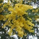 Acacia_dealbata-flowers-foliage