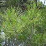 Pinus-halepensis-leaves-needles